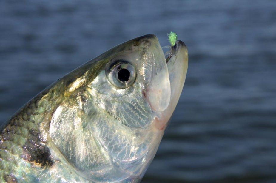 Die Finte, für viele Fliegenfischer unbekannt, steht auf grellgrüne Fliegen.
