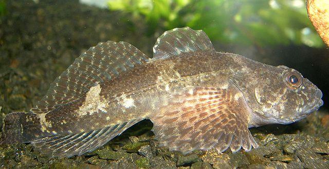 Beliebt bei Großforellen und andere Räuber - die Koppe (Quelle:Wikipedia)