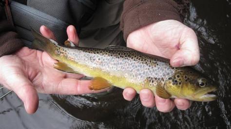 Tolle Färbung und sehr gesunder Fisch.