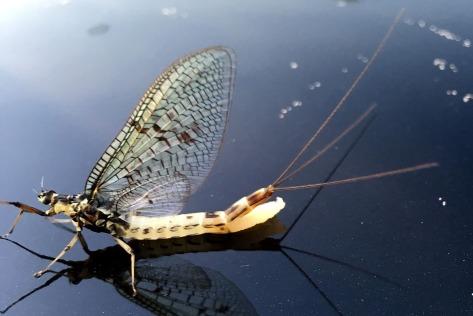 Da hat sich das Weibchen vertan und legt die Eier auf dem Dach eines PKW ab.