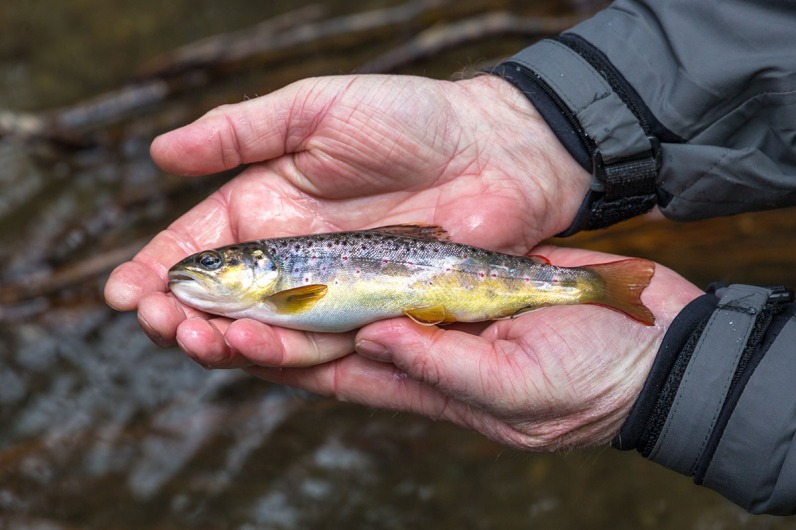 Die Fische werden am Pommerbach nicht groß, aber dafür besonders schön.